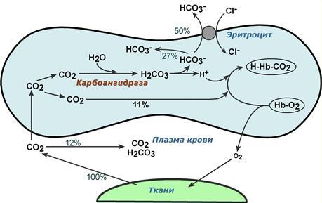 Процесс газообмена между молекулами гемоглобина и тканями внутренних органов